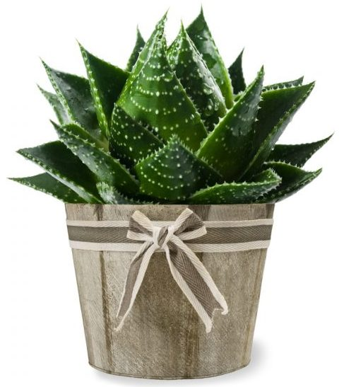 air purifying plants - Aloe Barbadensis - Aloe Vera
