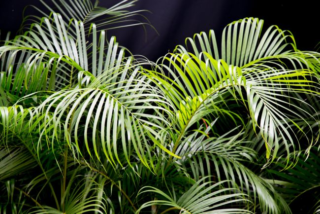 air purifying plants - Areca Palm - Chrysalidocarpus Lutescens