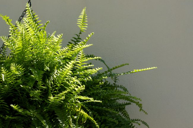 air purifying plants - Boston Fern - Nephrolepis Exaltata