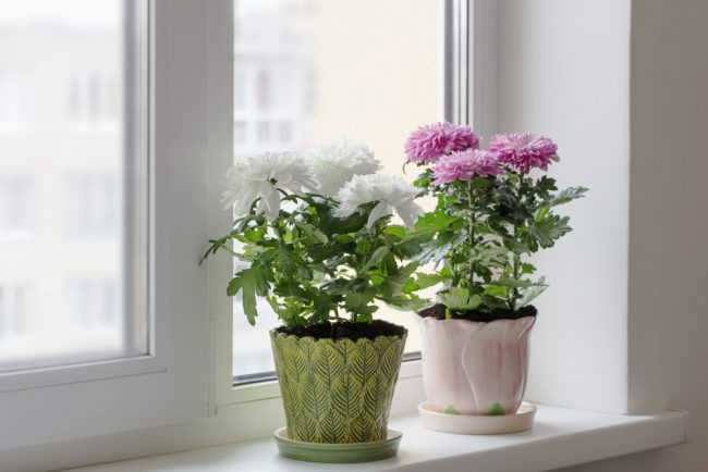 air purifying plants - Chrysanthemums - Chrysanthemum Morifolium