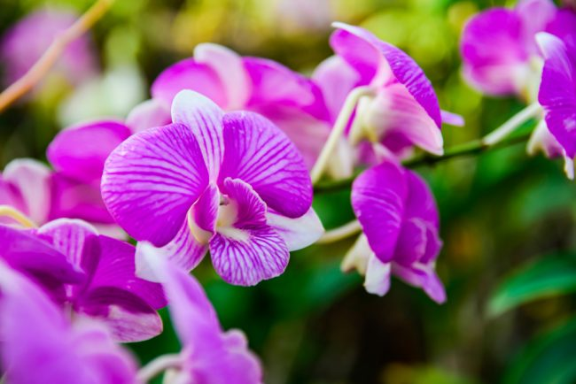 air purifying plants - Dendrobium Phalaenopsis
