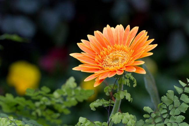 air purifying plants - Gerbera or African Daisies