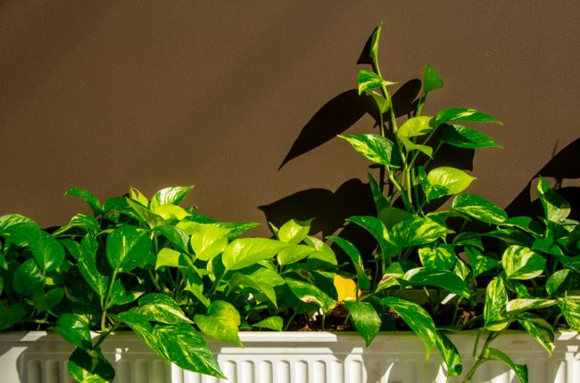 air purifying plants - Golden Pothos - Scindapsus Aures