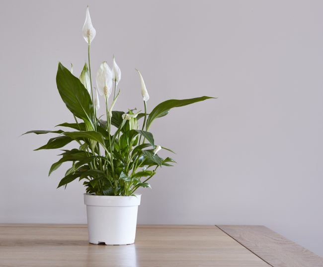 air purifying plants - Peace Lily - Spathiphyllum