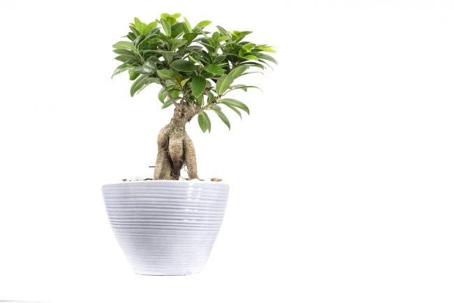 air purifying plants - Schefflera - Umbrella Tree - Brassaia Actinophylla