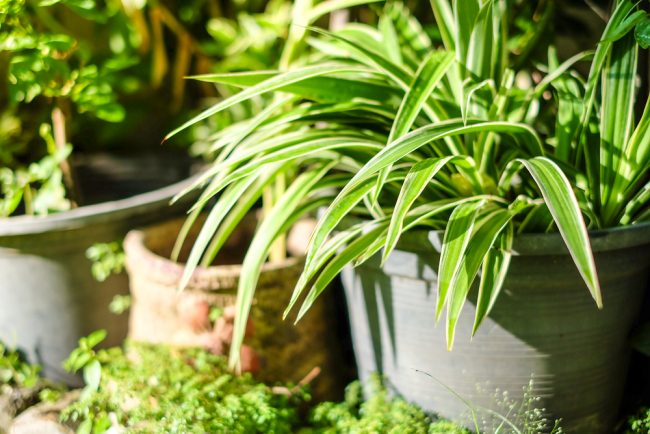 air purifying plants - Spider Plant - Chlorohytum Comosum