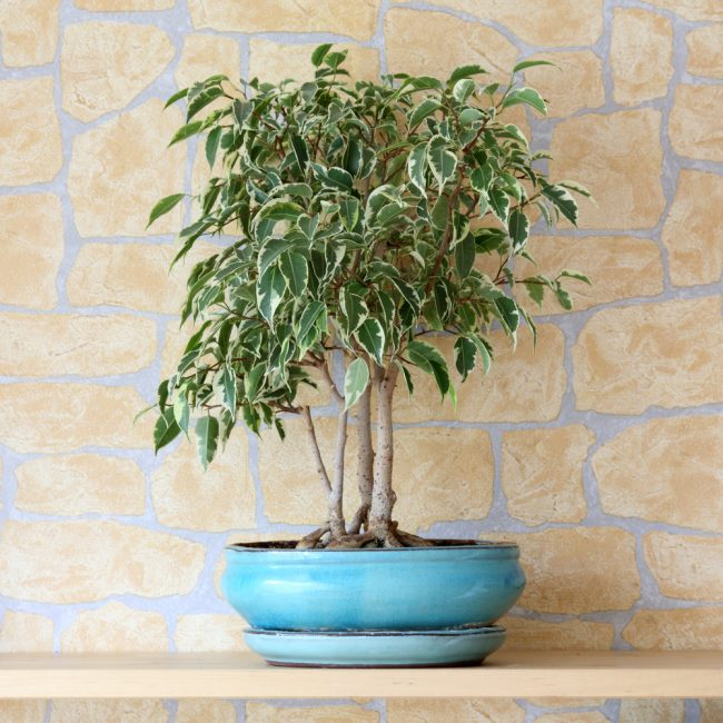 air purifying plants - Weeping Fig - Ficus Tree - Ficus Benjamina