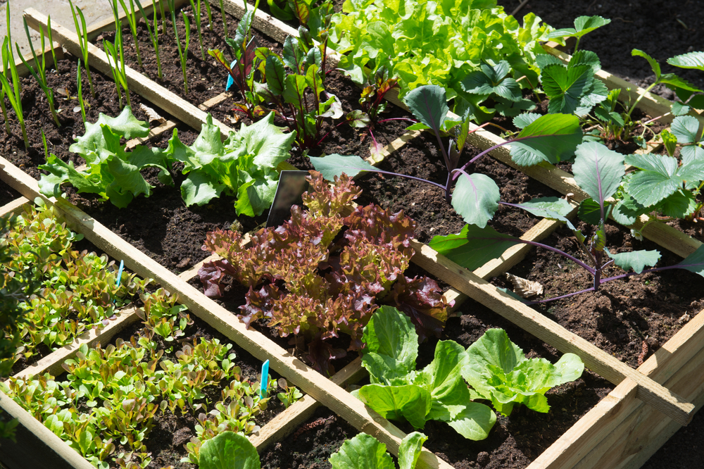 Vegetable Garden in Raised Garden Beds